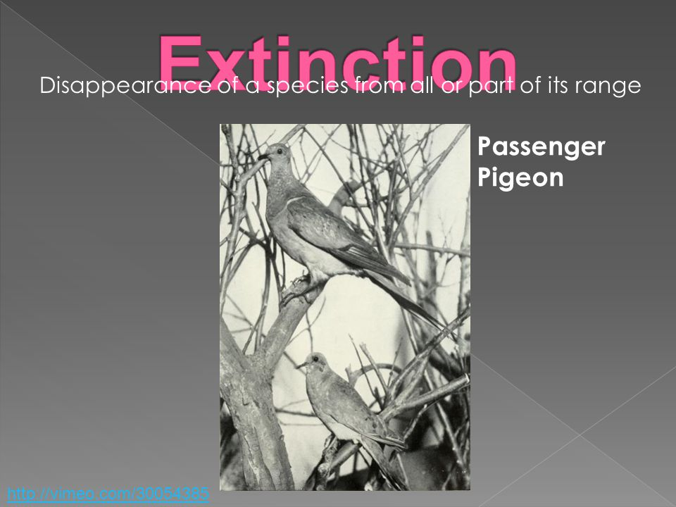 Disappearance of a species from all or part of its range Passenger Pigeon http://vimeo.com/30054385