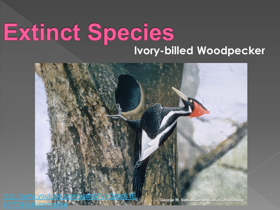 Ivory-billed Woodpecker http://www.youtube.com/watch v=QkIoS1E 61PY&feature=colike