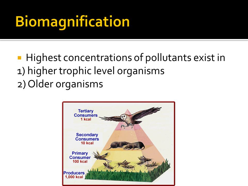 Highest concentrations of pollutants exist in 1) higher trophic level organisms 2) Older organisms
