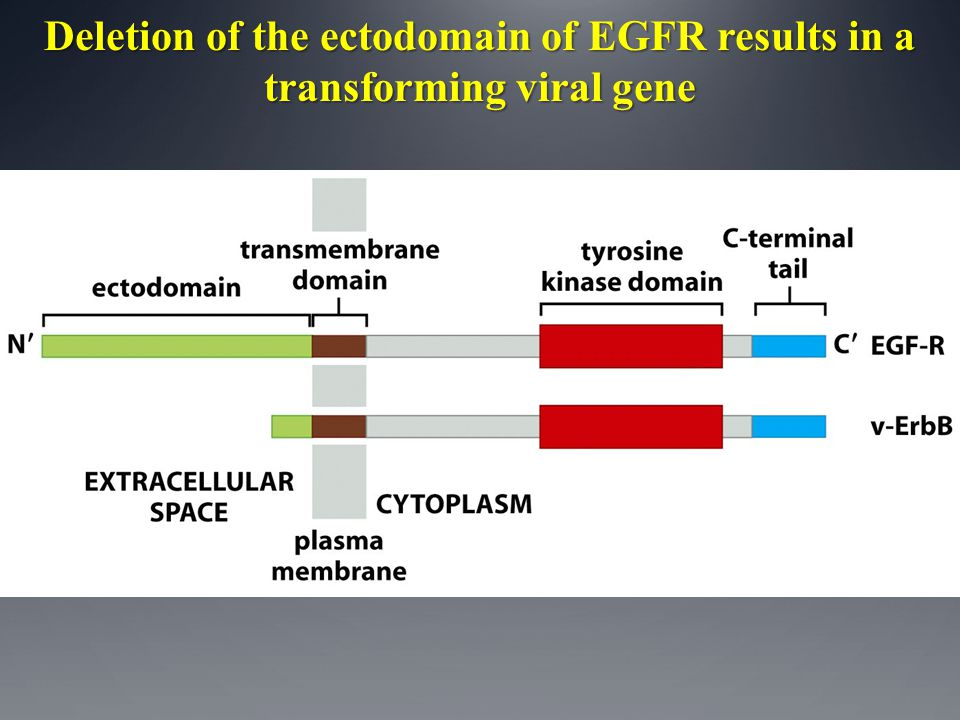 Deletion of the ectodomain of EGFR results in a transforming viral gene