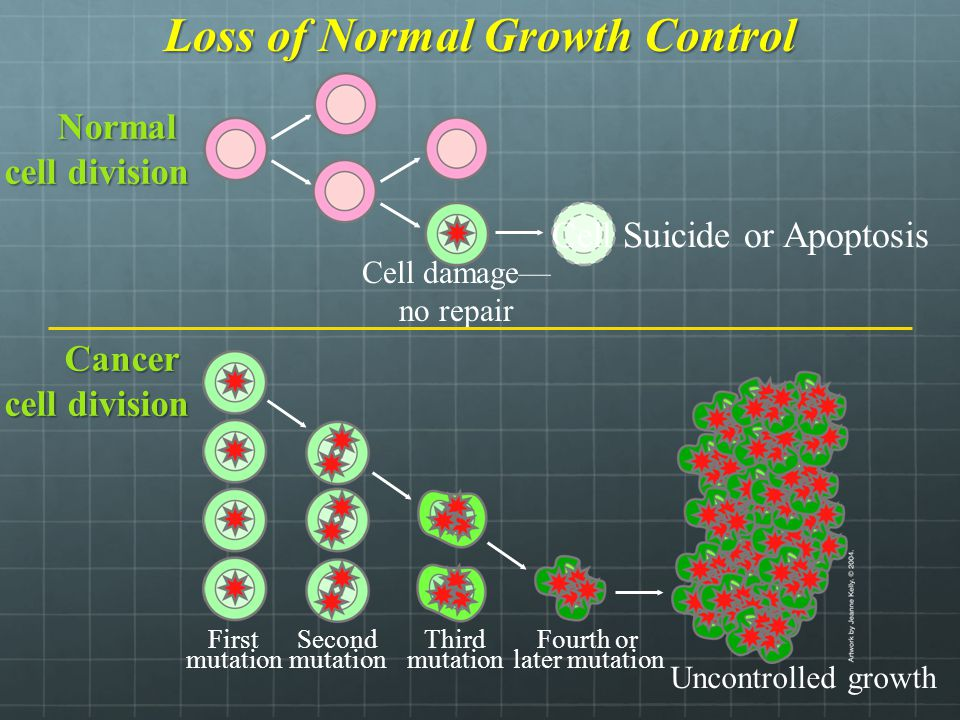 Loss of Normal Growth Control Cancer cell division Fourth or later mutation Third mutation Second mutation First mutation Uncontrolled growth Cell Suicide or Apoptosis Cell damage— no repair Normal cell division