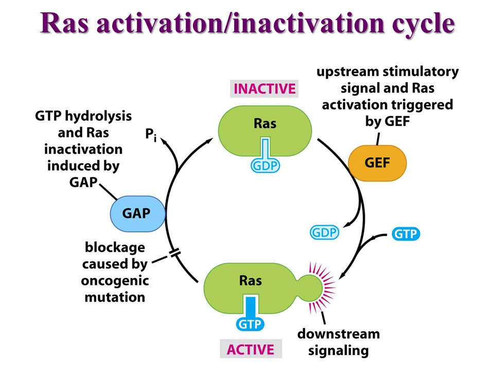 Ras activation/inactivation cycle