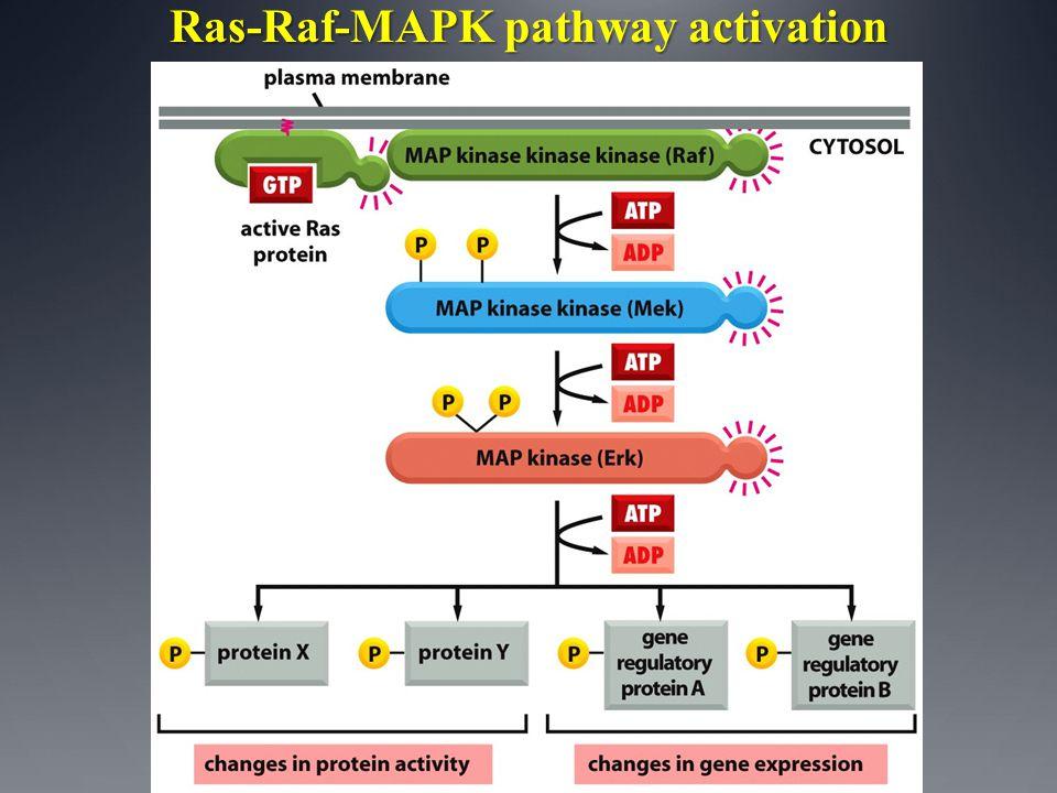 Ras-Raf-MAPK pathway activation
