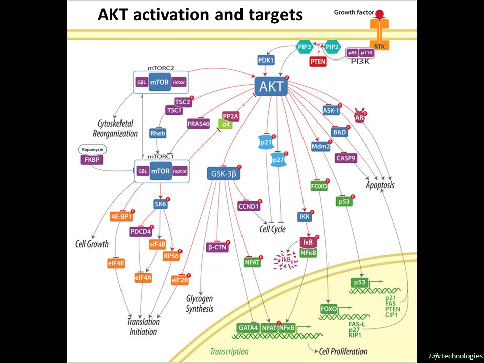 AKT activation and targets Life technologies