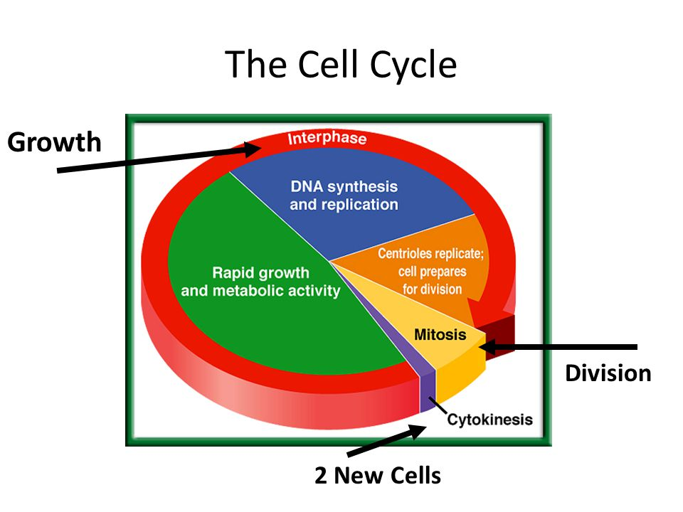 The Cell Cycle Growth Division 2 New Cells