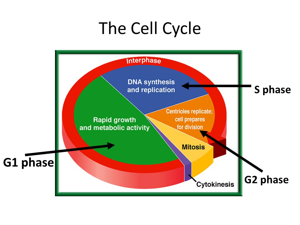 The Cell Cycle G1 phase S phase G2 phase
