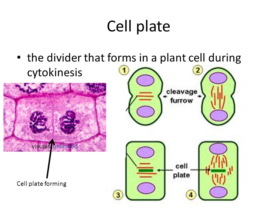 Cell plate the divider that forms in a plant cell during cytokinesis Cell plate forming