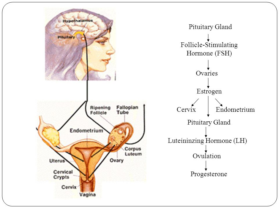Endometrium Luteininzing Hormone (LH) Pituitary Gland Follicle-Stimulating Hormone (FSH) Ovaries Estrogen Cervix Pituitary Gland Ovulation Progesterone