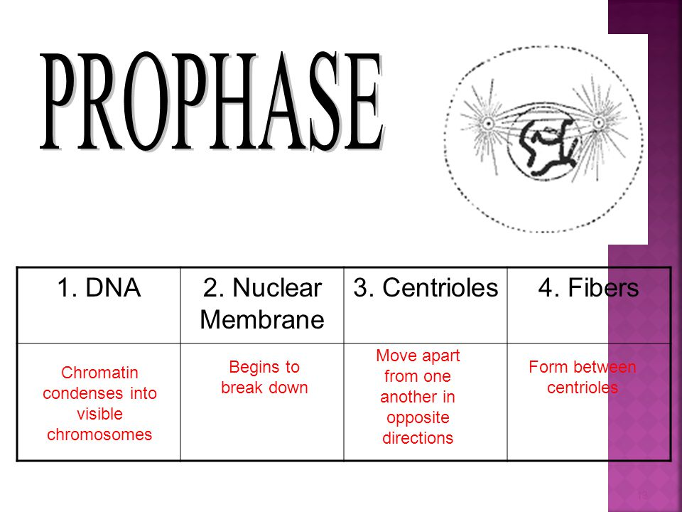 1. DNA2. Nuclear Membrane 3. Centrioles4. Fibers Chromatin condenses into visible chromosomes Begins to break down Move apart from one another in oppo