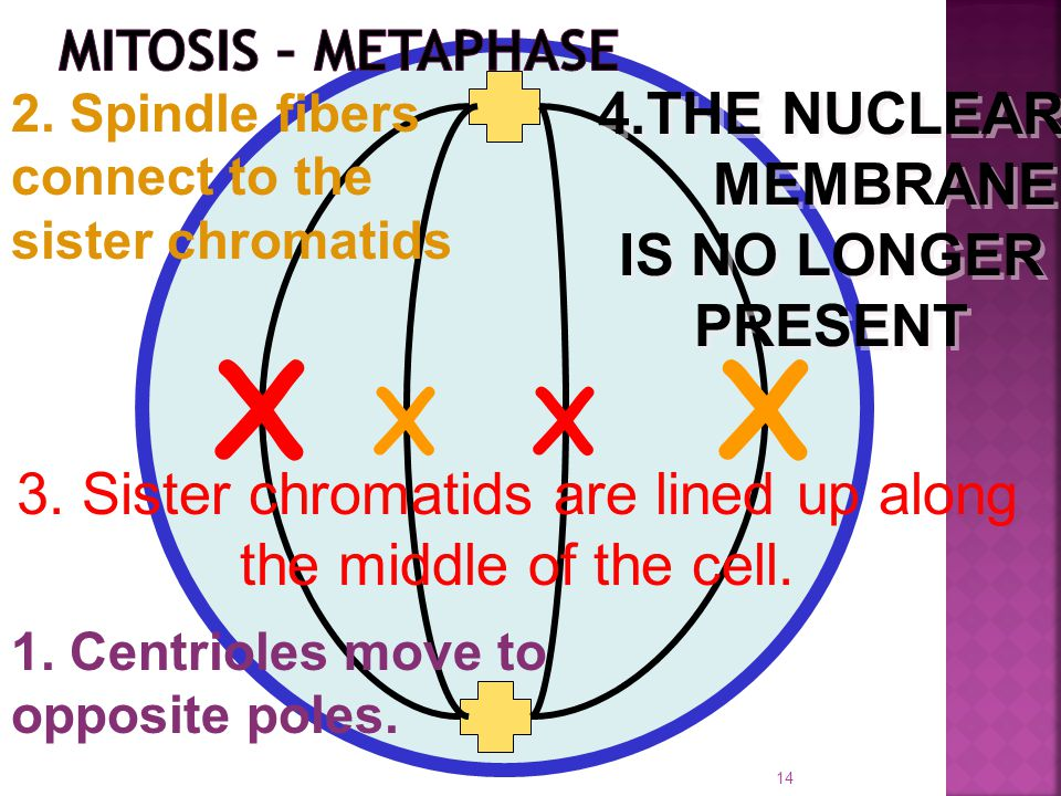 XX XX 4.THE NUCLEAR MEMBRANE IS NO LONGER PRESENT 2. Spindle fibers connect to the sister chromatids 3. Sister chromatids are lined up along the middl