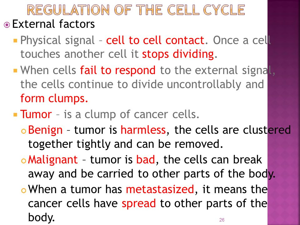  External factors  Physical signal – cell to cell contact. Once a cell touches another cell it stops dividing.  When cells fail to respond to the e