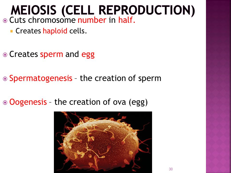  Cuts chromosome number in half.  Creates haploid cells.  Creates sperm and egg  Spermatogenesis – the creation of sperm  Oogenesis – the creatio
