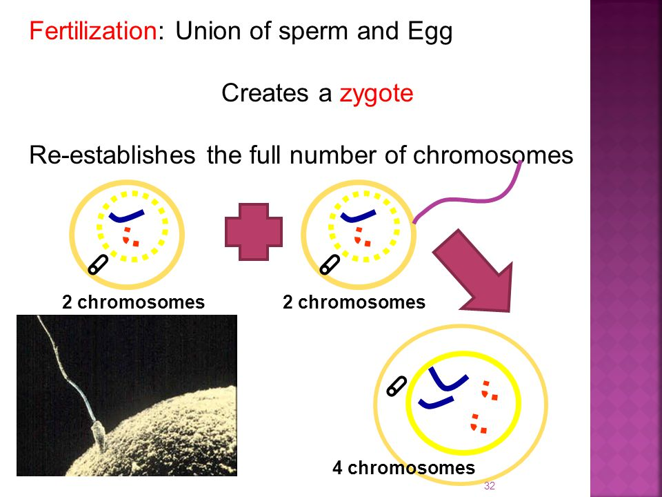 Fertilization: Union of sperm and Egg Creates a zygote Re-establishes the full number of chromosomes 2 chromosomes 4 chromosomes 32