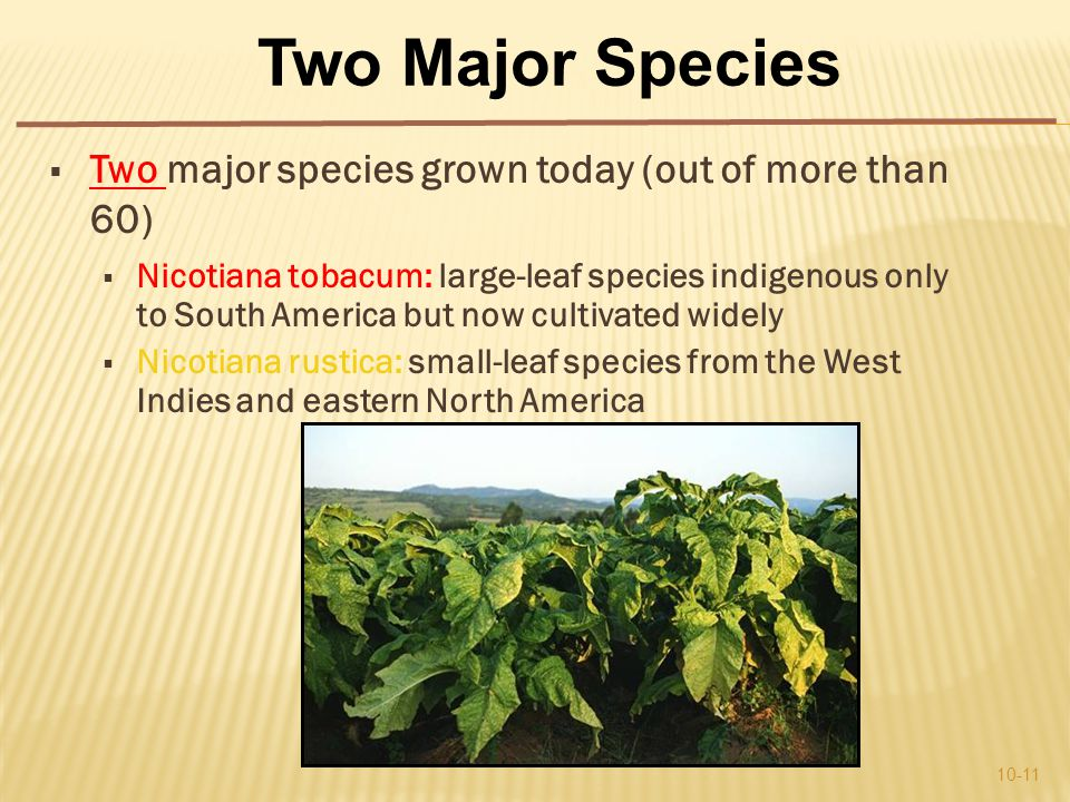  Two major species grown today (out of more than 60)  Nicotiana tobacum: large-leaf species indigenous only to South America but now cultivated widely  Nicotiana rustica: small-leaf species from the West Indies and eastern North America 10-11 Two Major Species