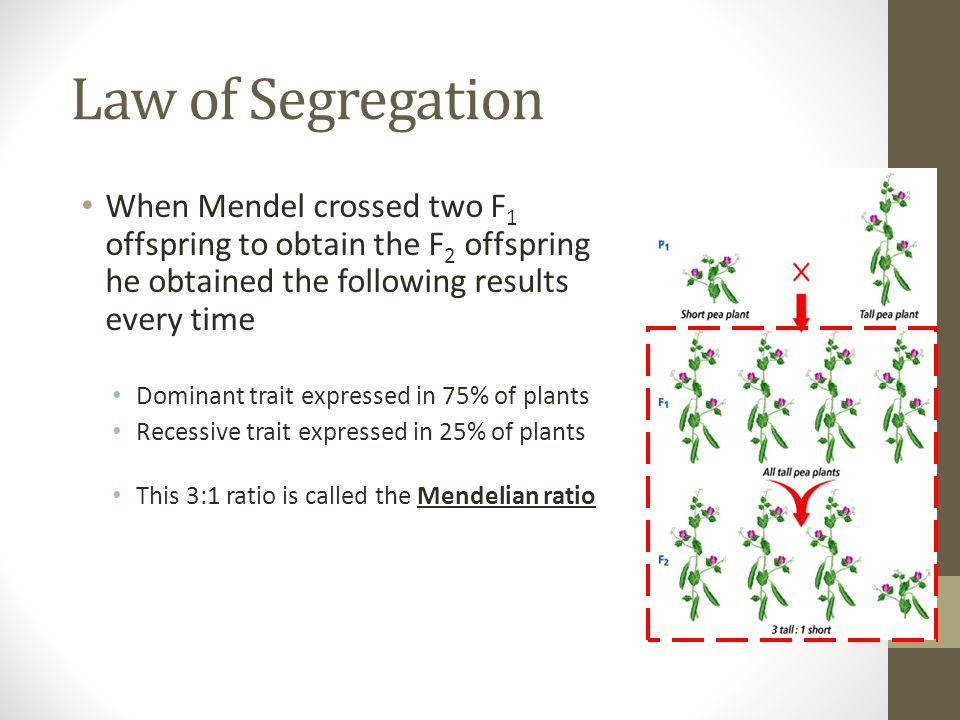 Law of Segregation When Mendel crossed two F 1 offspring to obtain the F 2 offspring he obtained the following results every time Dominant trait expre