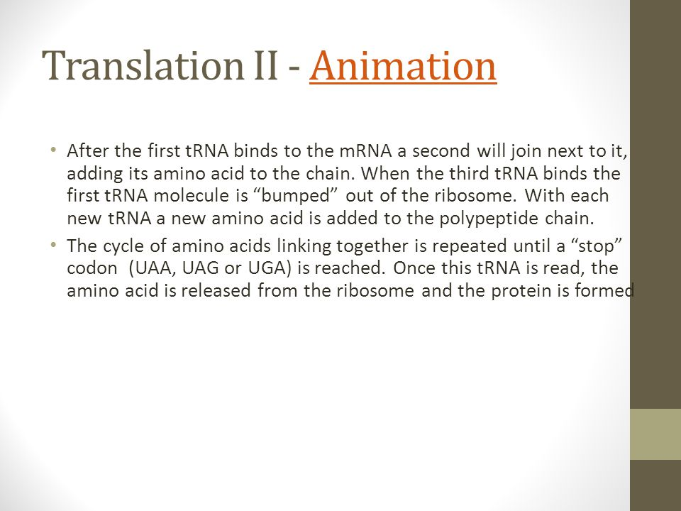 Translation II - AnimationAnimation After the first tRNA binds to the mRNA a second will join next to it, adding its amino acid to the chain. When the