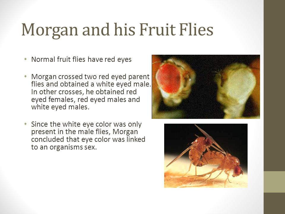 Morgan and his Fruit Flies Normal fruit flies have red eyes Morgan crossed two red eyed parent flies and obtained a white eyed male. In other crosses,