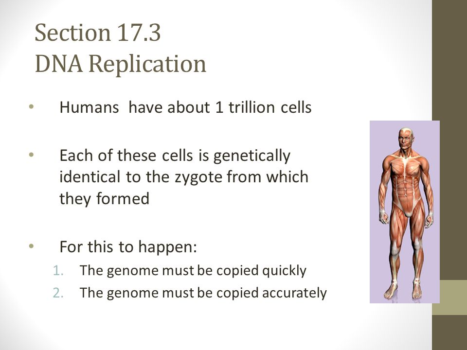 Section 17.3 DNA Replication Humans have about 1 trillion cells Each of these cells is genetically identical to the zygote from which they formed For