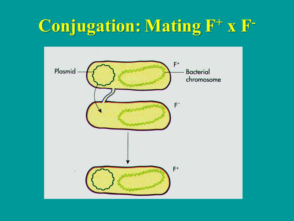 Conjugation: Mating F + x F -