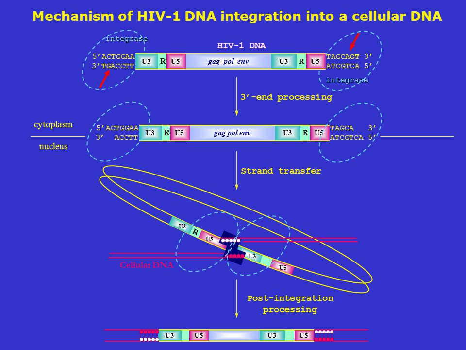 Post-integration processing U5 Cellular DNA R U3 U5 U3 U5 3'-end processing integrase integrase HIV-1 DNA R 5'ACTGGAA 3'TGACCTT TAGCAGT 3' ATCGTCA 5' R U3 gag pol env U3U5 Strand transfer cytoplasm nucleus R 5'ACTGGAA 3' ACCTT TAGCA 3' ATCGTCA 5' R U3 gag pol env U3U5 Mechanism of HIV-1 DNA integration into a cellular DNA