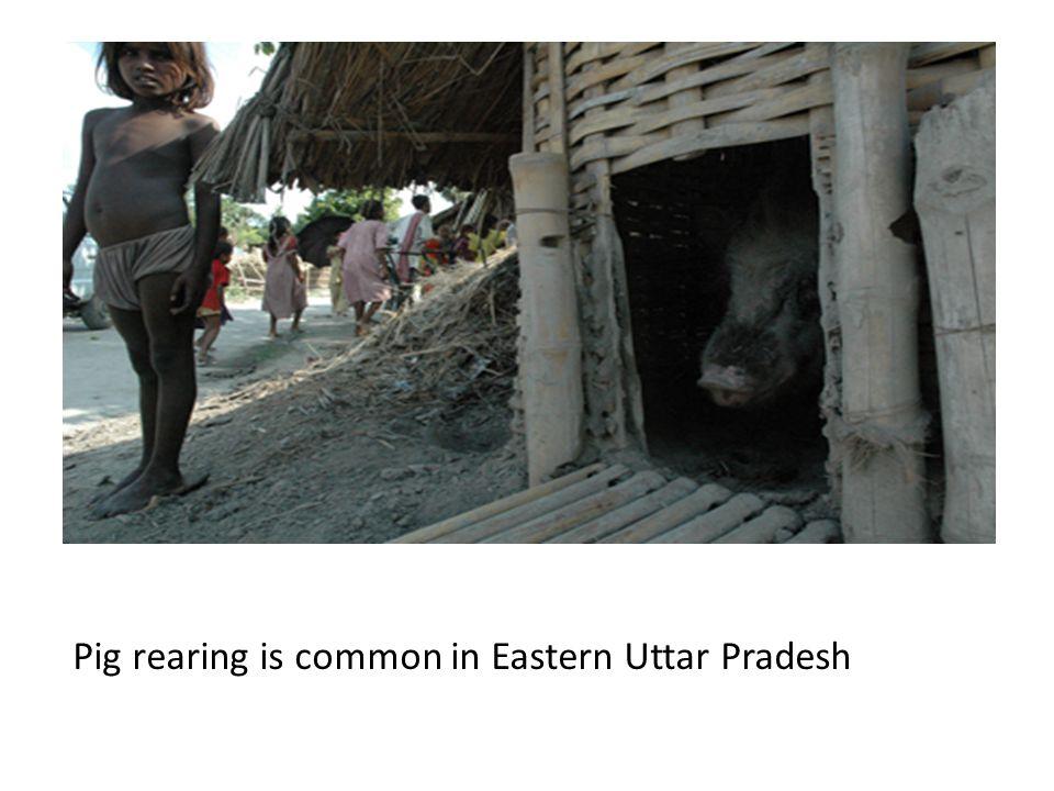 Pig rearing is common in Eastern Uttar Pradesh