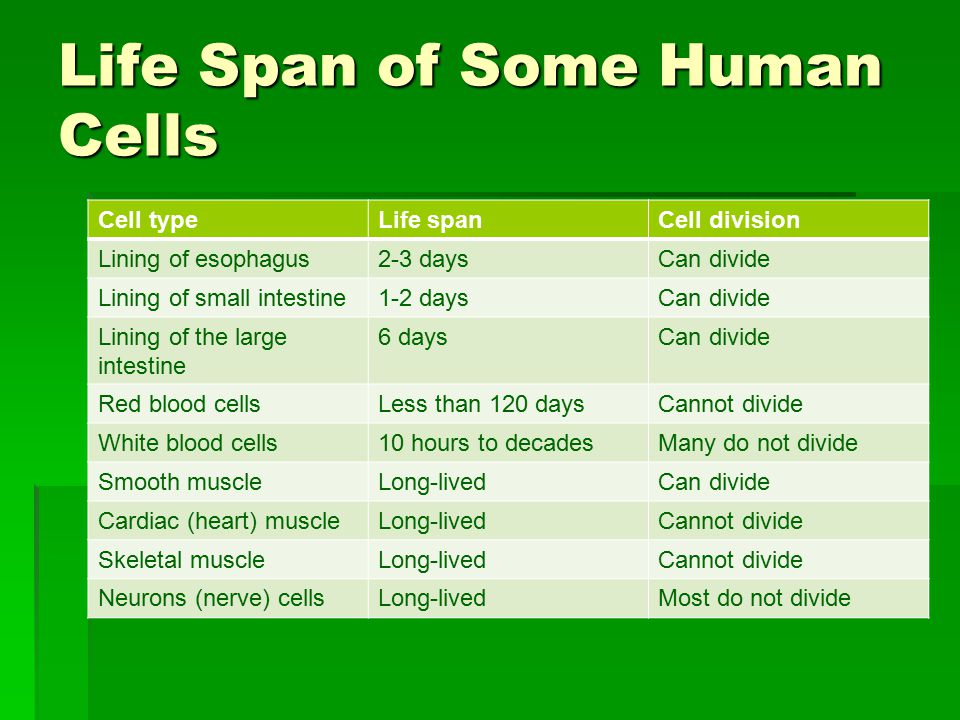 Life Span of Some Human Cells Cell typeLife spanCell division Lining of esophagus2-3 daysCan divide Lining of small intestine1-2 daysCan divide Lining of the large intestine 6 daysCan divide Red blood cellsLess than 120 daysCannot divide White blood cells10 hours to decadesMany do not divide Smooth muscleLong-livedCan divide Cardiac (heart) muscleLong-livedCannot divide Skeletal muscleLong-livedCannot divide Neurons (nerve) cellsLong-livedMost do not divide