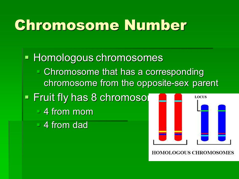 Chromosome Number  Homologous chromosomes  Chromosome that has a corresponding chromosome from the opposite-sex parent  Fruit fly has 8 chromosomes  4 from mom  4 from dad