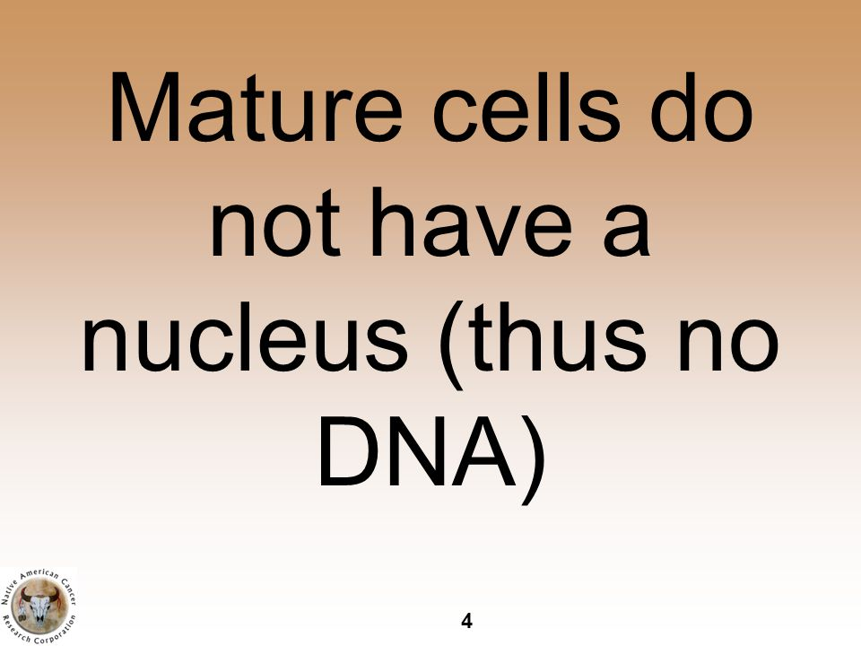 4 Mature cells do not have a nucleus (thus no DNA)