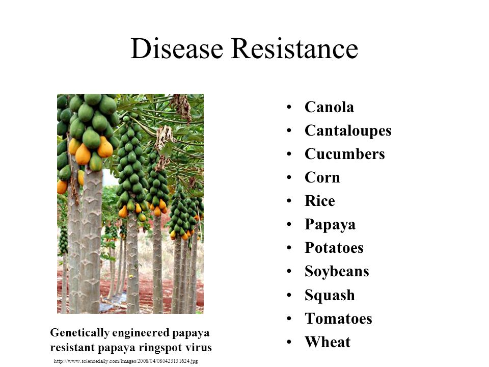 Disease Resistance Canola Cantaloupes Cucumbers Corn Rice Papaya Potatoes Soybeans Squash Tomatoes Wheat Genetically engineered papaya resistant papaya ringspot virus http://www.sciencedaily.com/images/2008/04/080423131624.jpg