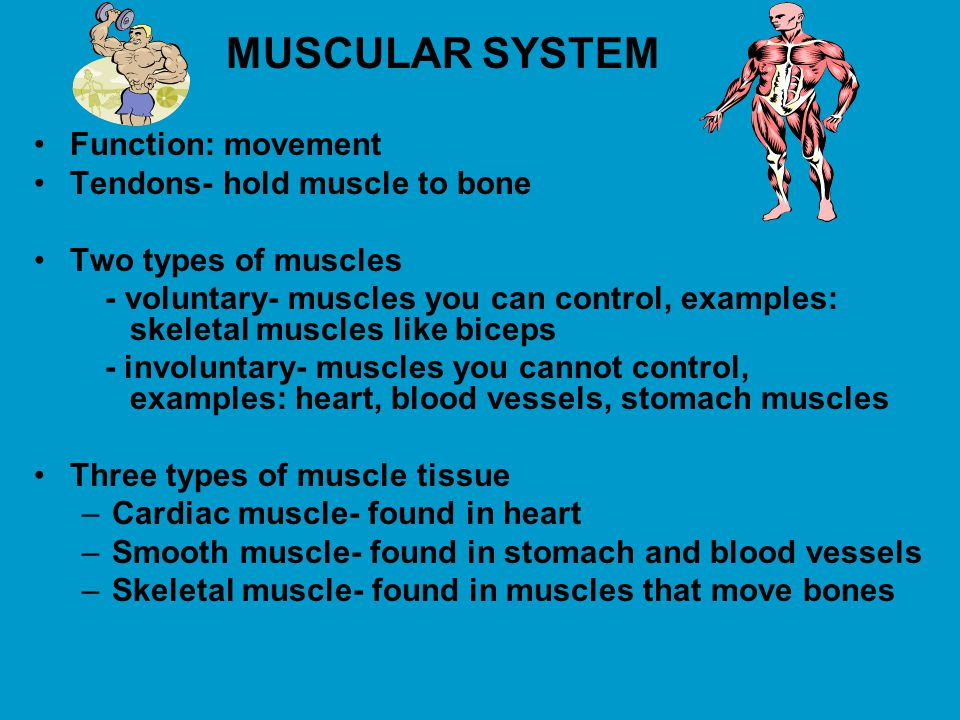 MUSCULAR SYSTEM Function: movement Tendons- hold muscle to bone Two types of muscles - voluntary- muscles you can control, examples: skeletal muscles like biceps - involuntary- muscles you cannot control, examples: heart, blood vessels, stomach muscles Three types of muscle tissue –Cardiac muscle- found in heart –Smooth muscle- found in stomach and blood vessels –Skeletal muscle- found in muscles that move bones