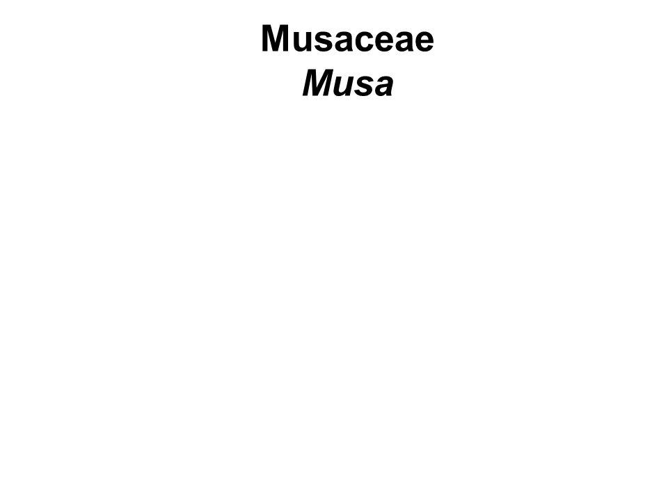 Musaceae Musa