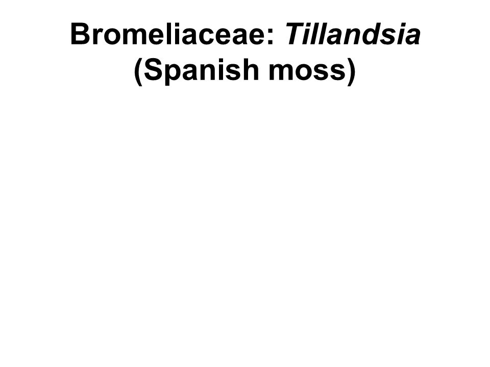 Bromeliaceae: Tillandsia (Spanish moss)