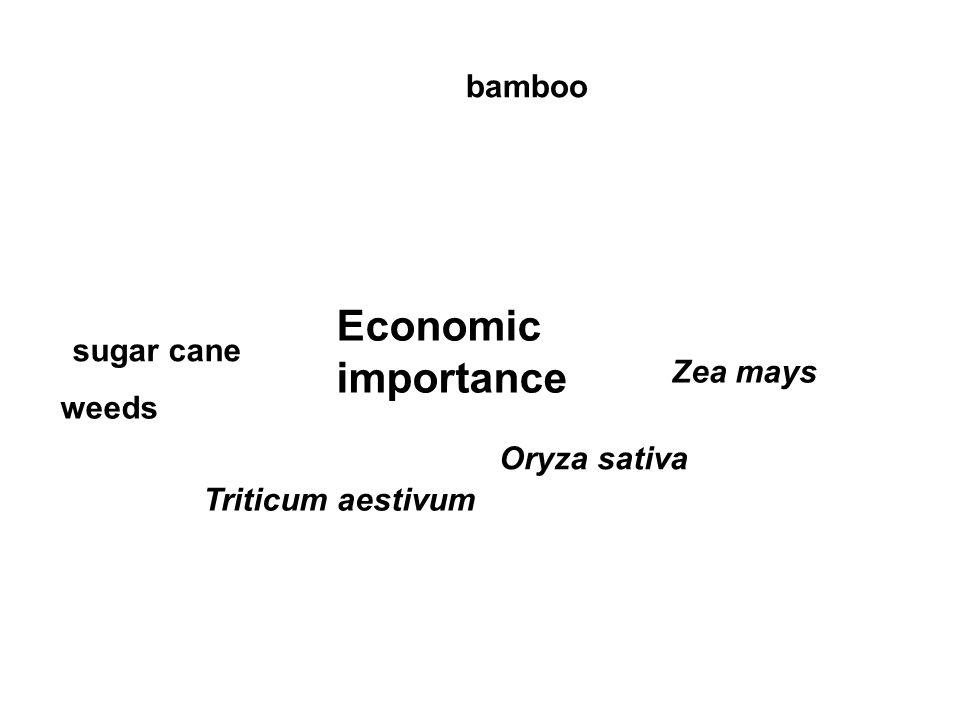 Economic importance Zea mays Oryza sativa Triticum aestivum weeds sugar cane bamboo