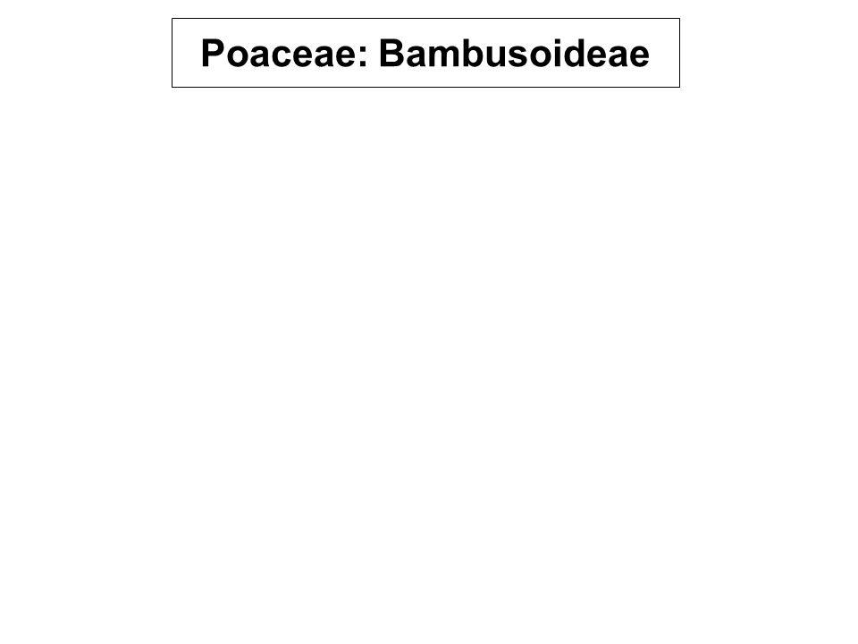 Poaceae: Bambusoideae