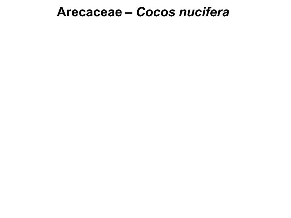 Arecaceae – Cocos nucifera