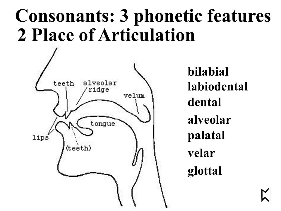 bilabial labiodental dental alveolar palatal velar glottal 2 Place of Articulation Consonants: 3 phonetic features