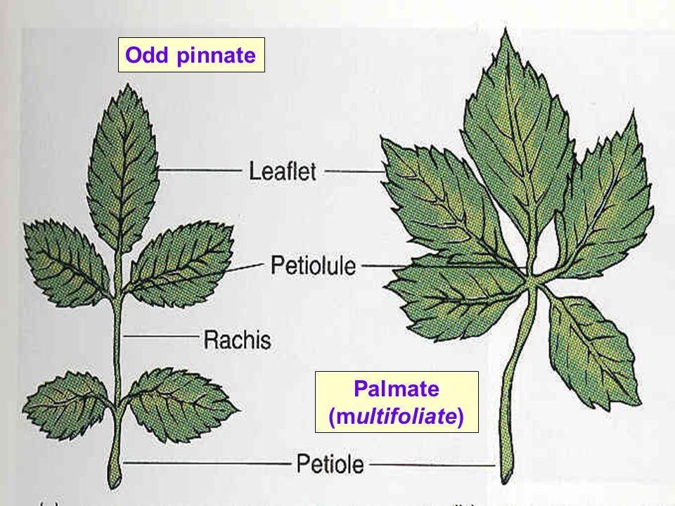 Odd pinnate Palmate (multifoliate)
