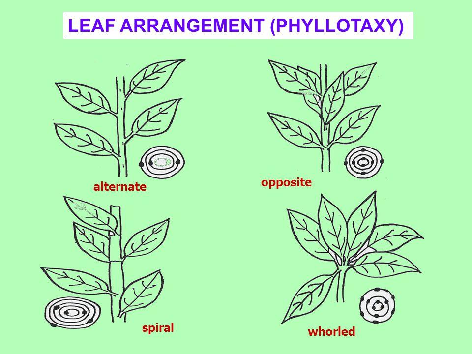 alternate spiral opposite whorled LEAF ARRANGEMENT (PHYLLOTAXY)