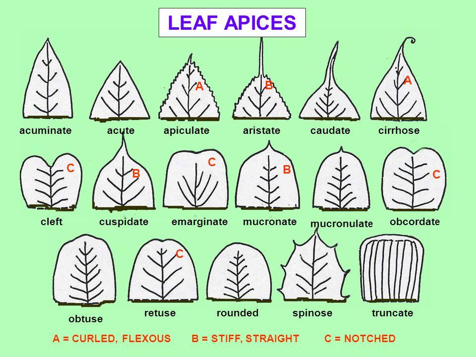 LEAF APICES acuminateacuteapiculatearistatecaudatecirrhose obcordat e mucronulat e mucronateemarginatecuspidatecleft obtuse retuseroundedspinose trunc