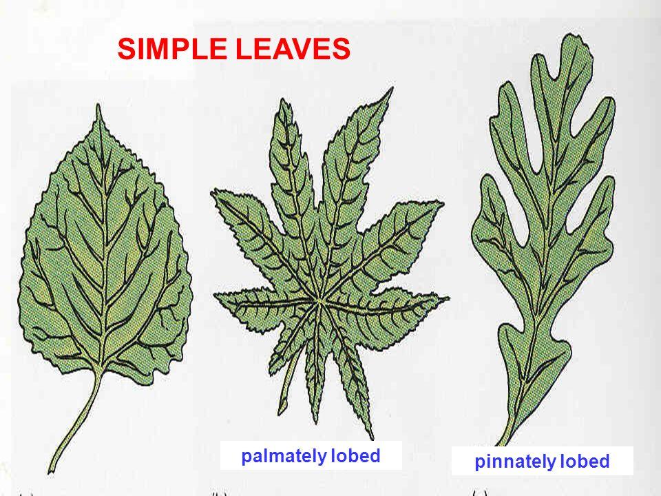 multifoliat e leaflet petiolule petiole bifoliate trifoliate simple leaf (palmately - lobed) e.g.