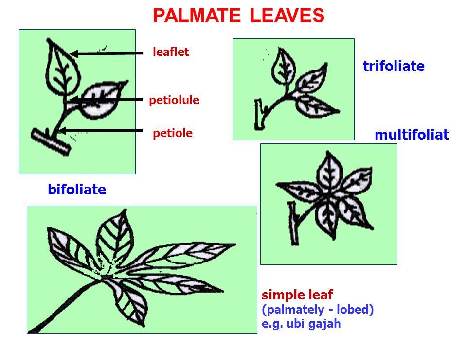 multifoliat e leaflet petiolule petiole bifoliate trifoliate simple leaf (palmately - lobed) e.g. ubi gajah PALMATE LEAVES