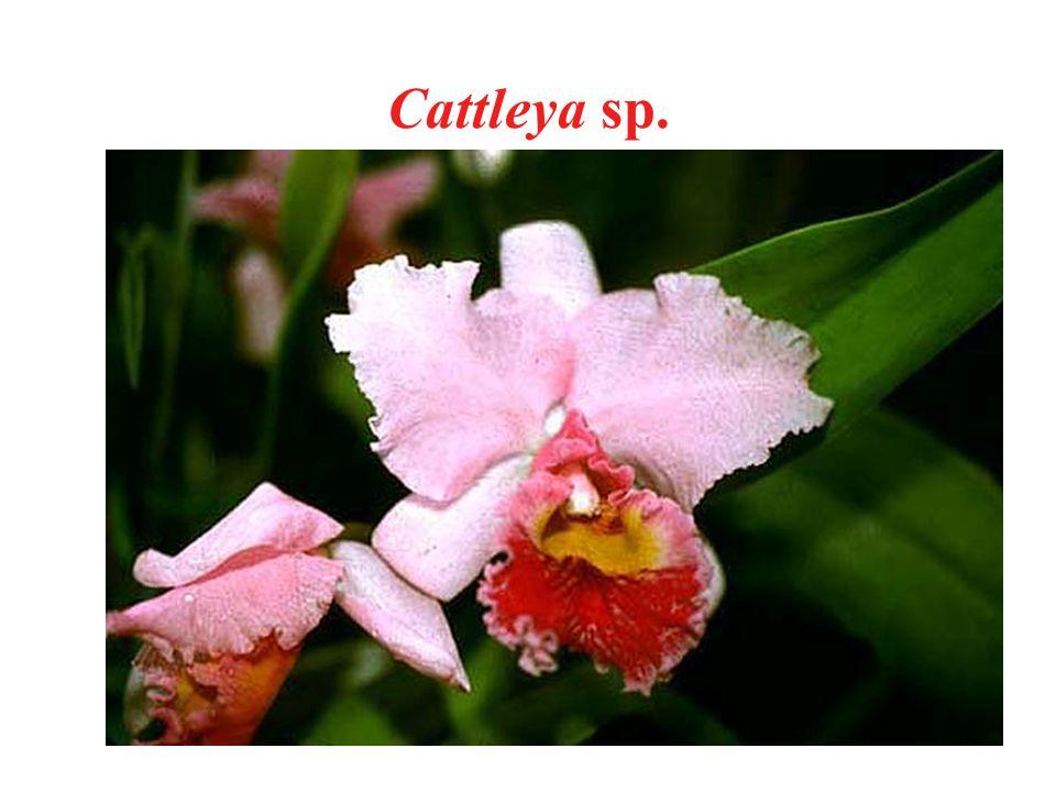Cattleya sp.