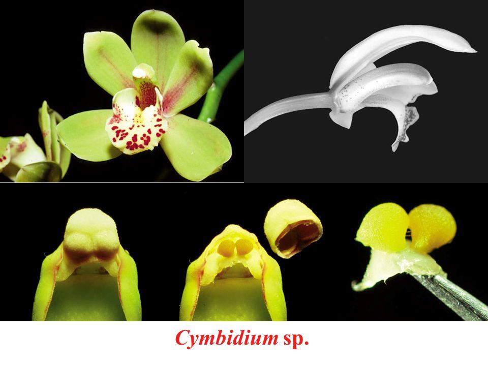 Cymbidium sp.