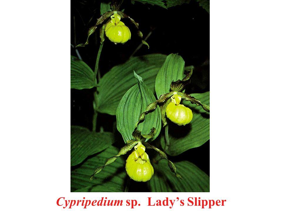 Cypripedium sp. Lady's Slipper
