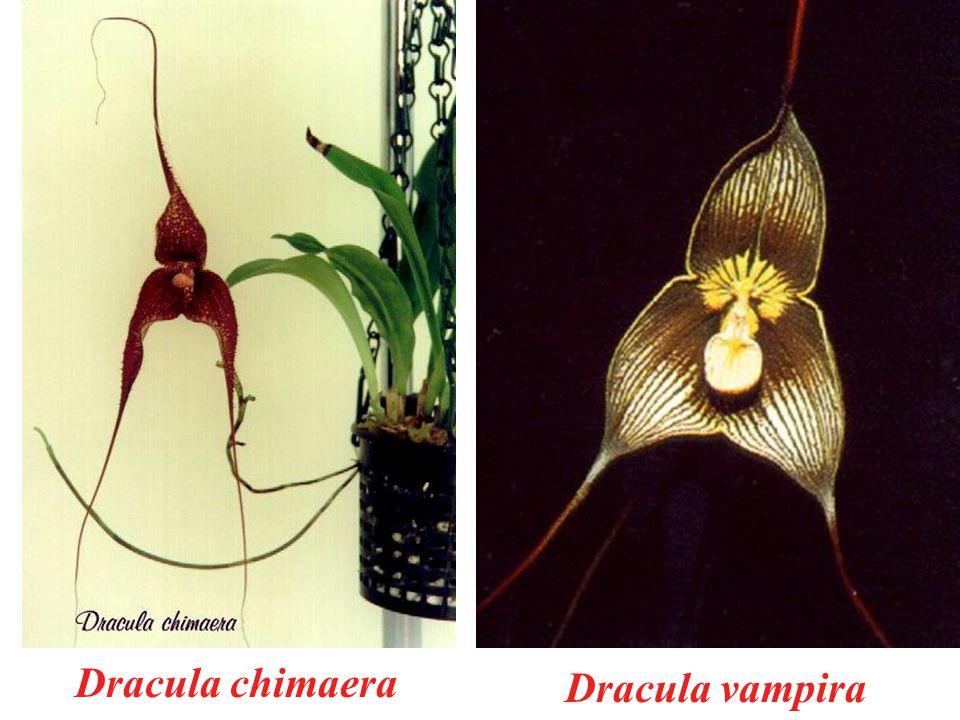 Dracula chimaera Dracula vampira