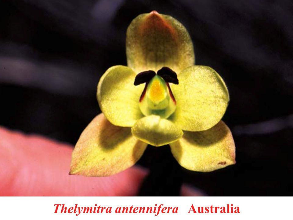 Thelymitra antennifera Australia