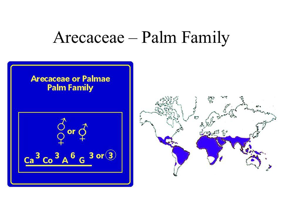 Arecaceae – Palm Family
