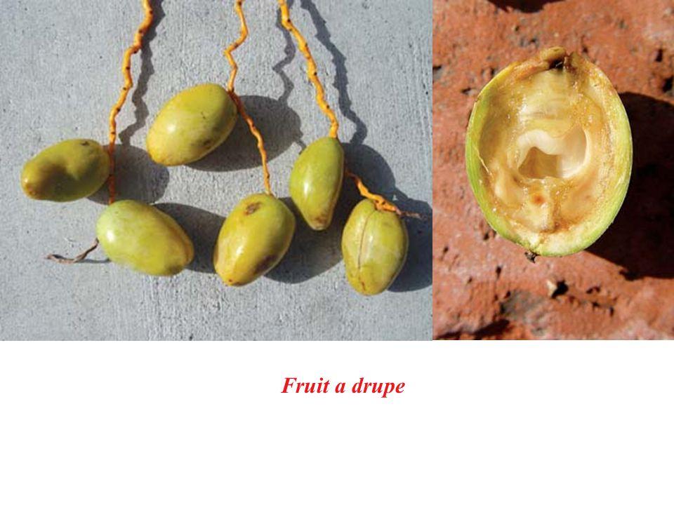 Fruit a drupe