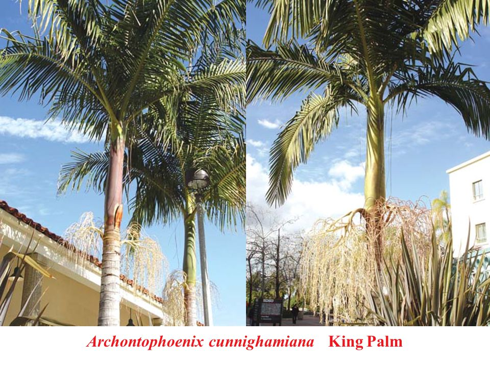 Archontophoenix cunnighamiana King Palm
