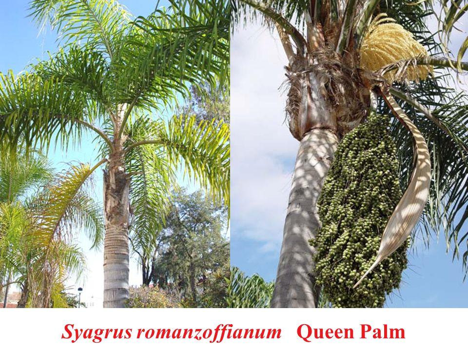 Syagrus romanzoffianum Queen Palm